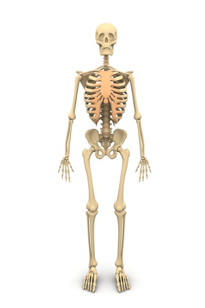 transparent system: Human skeleton Stock Photo