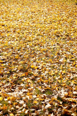 A Blanket of Yellow Fall Leaves on an Autumn Day photo