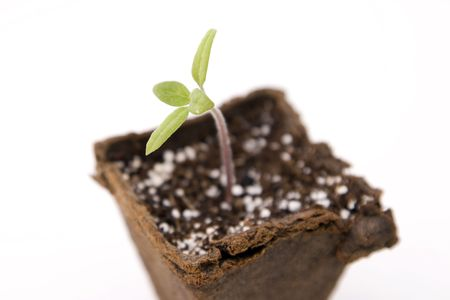 Its a tomato seedling growing in a biodegradable seedling starter peat moss pot. Isolated on white. Reklamní fotografie