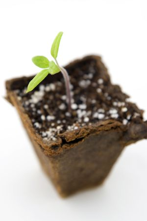 biodegradable: Its a tomato seedling growing in a biodegradable seedling starter peat moss pot. Isolated on white. Stock Photo
