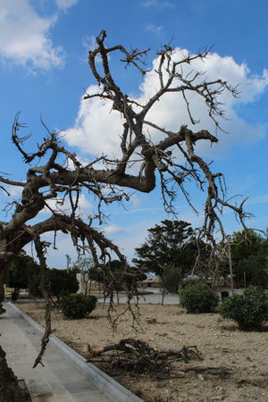 spooky dead tree branches during the day, valetta , malta