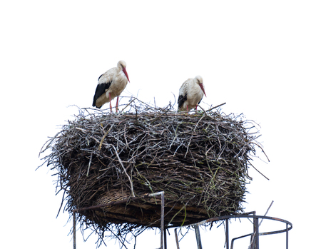 A pair of storks sits in his nest. Isolated against white background - photographed in Bad Belzig OT Borne, Germany