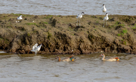 Three avocets consult at a safe distance, while a fourth boldly opposes the Nile geese.