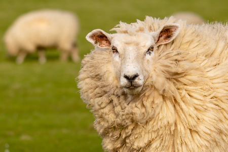 A woolly sheep looks directly into the camera. Another sheep grazes in the background. Stock fotó