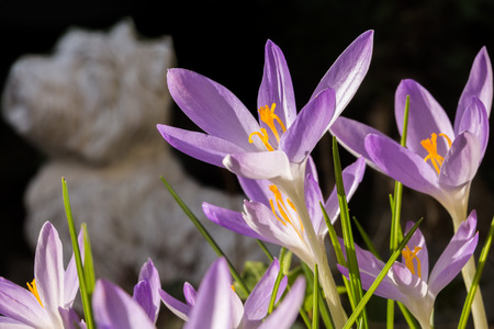 Violet crocus flowers in front of a dark background. In the background a white dog can be recognized.