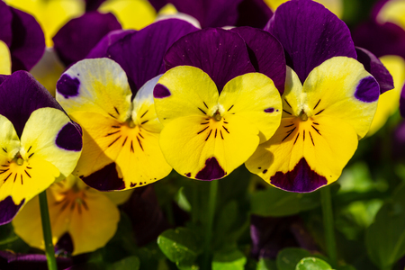 Flowering pansies look side by side at the camera. Archivio Fotografico - 126306081