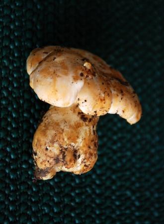 fungous: Boletus edulis