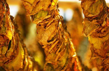 sun dried tobacco leaves                  Standard-Bild
