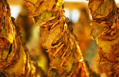 sun dried tobacco leaves                  Stock Photo