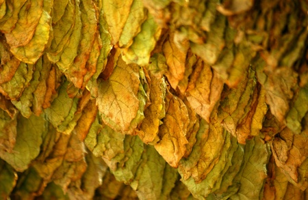 sun dried tobacco leaves                            Banque d'images