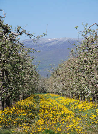 apple orchard: Blossoming apple orchard in spring Stock Photo