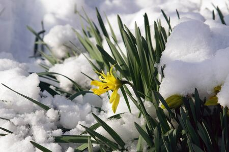 flowers under snow                          Stock Photo