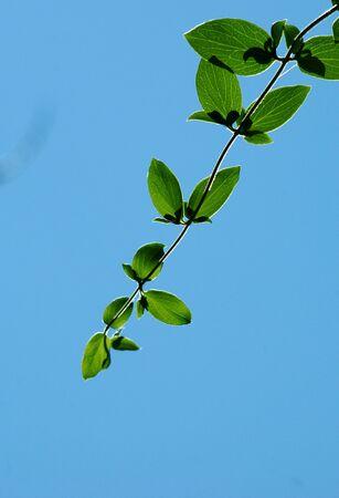 leaves against blue sky                      photo