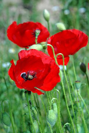 red poppies on green field: red poppies