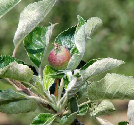 unripe: Branch with unripe apple