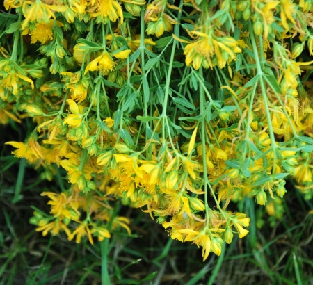 St  Johns Wort Flower photo