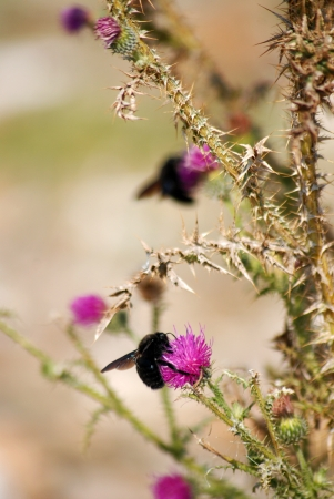 aculeata: bumble bee on flower