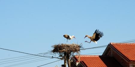 wader: storks in nest one flying