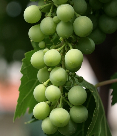 Young green grape on vine photo