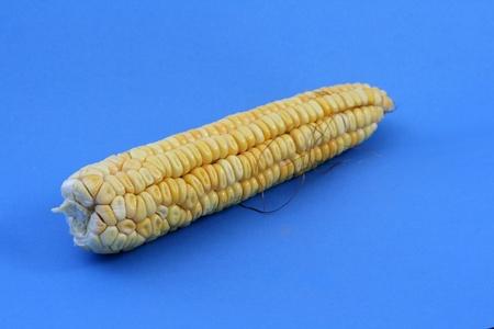 corn ear: mazorca de ma�z amarillo