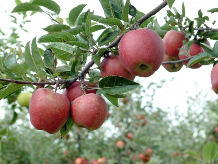 tree farming: red delicious apple on an branch