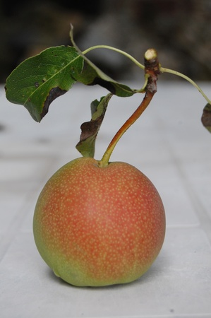 Pure organic Rare sort of pear, in macedonia so called tiranka photo