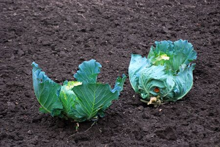 organic cabbages in soil photo