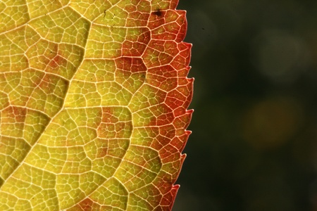 macro shot of automn leaf  photo