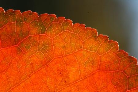 macro shot of automn leaf Stock Photo - 16517443