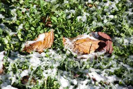 autumn leaves with snow photo
