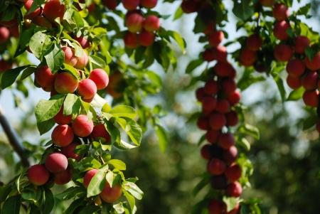 Organic Plums photo