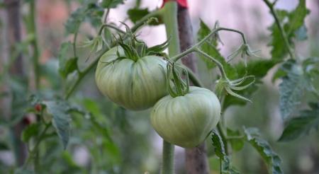 organic tomatoes from macedonia