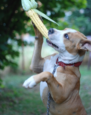 Staffordshire Terrier in action , catching corn photo