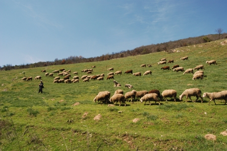 A shepherd is leading his flock to pasture photo