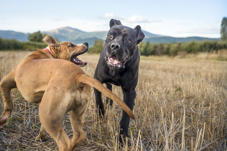cane collars: cane corso and amstaff playing Stock Photo