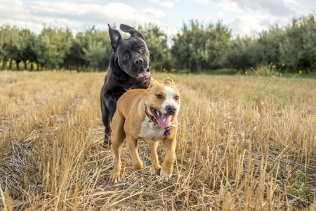 molosse: cane corso and amstaff playing Stock Photo