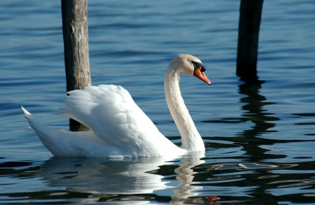 Swan in lake ohrid, macedonia                         Stock Photo - 23131316