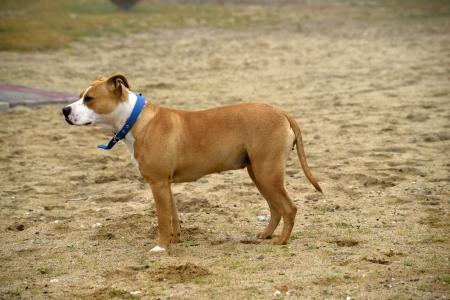 american staffordshire terrier: American Staffordshire Terrier ,female