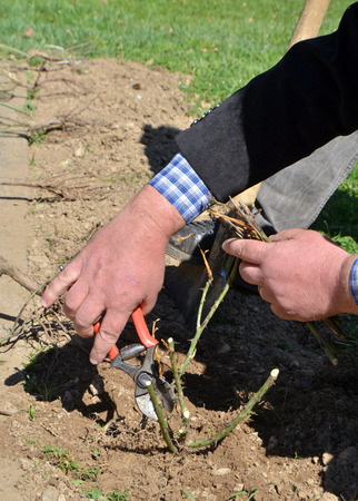 Pruning Of Roses With Secateurs