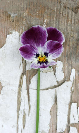 purple flower on a scratched wood photo