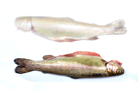 Trout fish photo