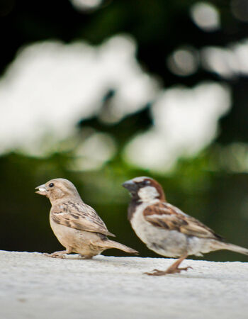 passer    by: Passer Domesticus, House Sparrow
