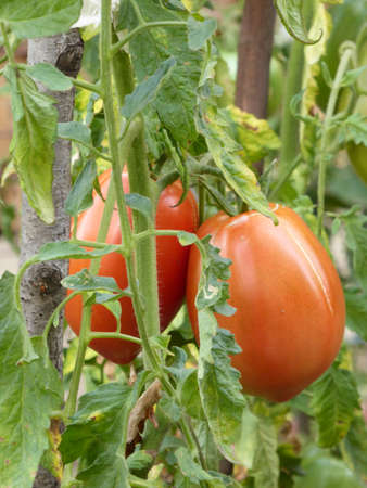 Organic tomatoes in a garden photo
