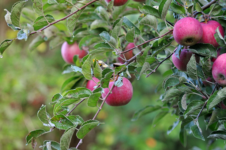 Apple orchardn in the morning photo