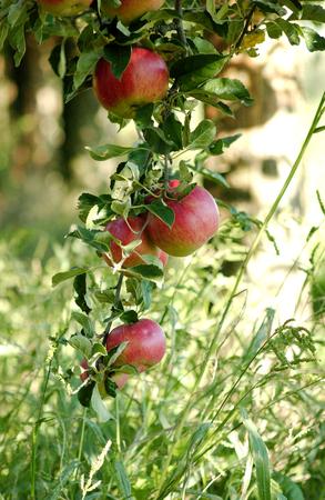 fallen fruit: red apples in moring