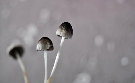 agaricus: Mushroom Stock Photo