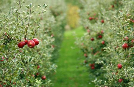 Apple orchard in october Standard-Bild