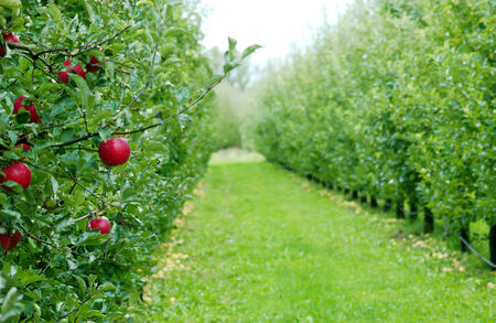 Apple orchard in october Stock Photo