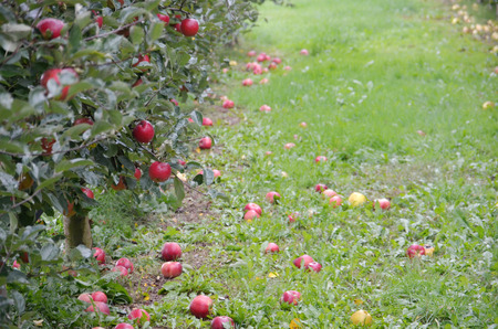 Apple orchard in october photo