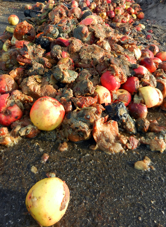 rancid: Picture of a rotten apples, organic pollution concept